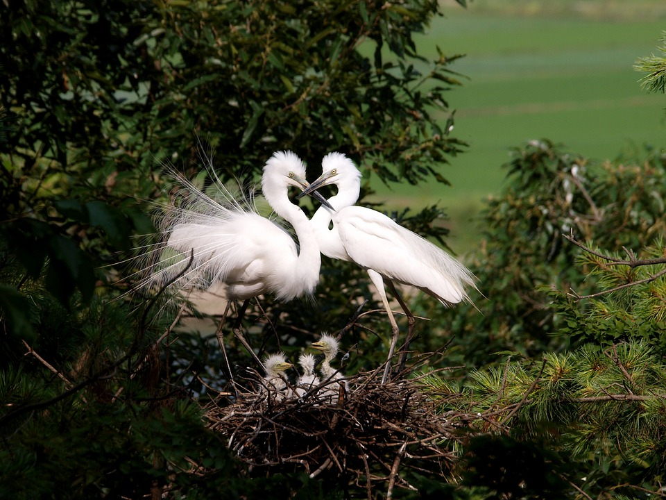白鷺 鷺 ハート 愛 夫婦