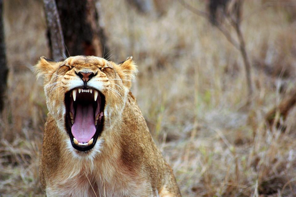 レオ 動物 サバンナ 雌ライオン サファリ 野生 自然 夏 動物相 黄色 轟音 ホット 怒り