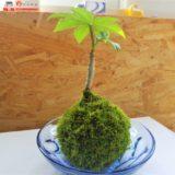 苔玉で植物を育てる方法と成長の様子:水やりの具合や肥料なども