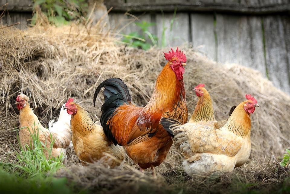 コック ファーム 村 チキン 妻 自給自足農業 エコロジー 家畜 家禽 鳥 鶏 鶏肉