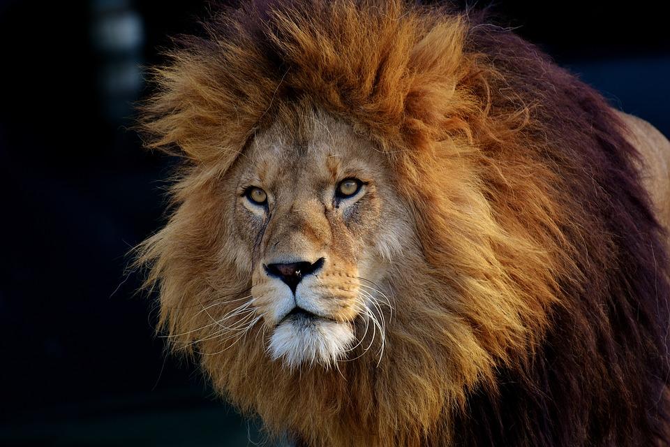 ライオン 捕食者 危険 たてがみ 猫 男性 動物園 野生動物 アフリカ 動物 ツイストパーマ