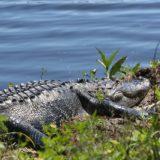 は虫類 自然 水 野生動物 動物 フロリダ州 Gator ワニ 睡眠 暖かさ