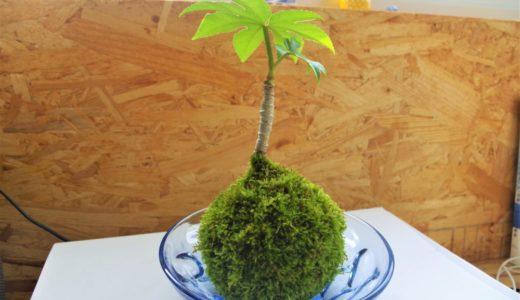苔玉での植物の育て方と成長の様子:水やり・肥料・枯れる原因も!