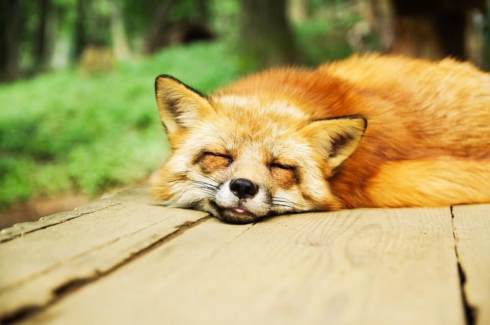 睡眠中の狐