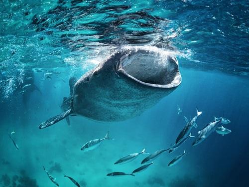 ジンベイザメの食事