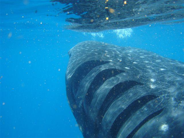 ジンベエザメの鰓耙
