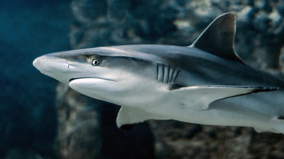 横から見たサメ