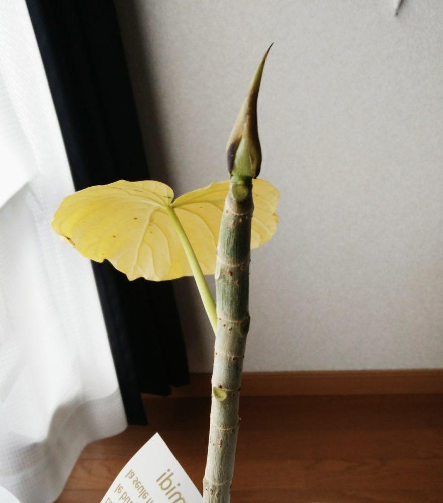 葉が落ちたフィカス・ウンベラータ