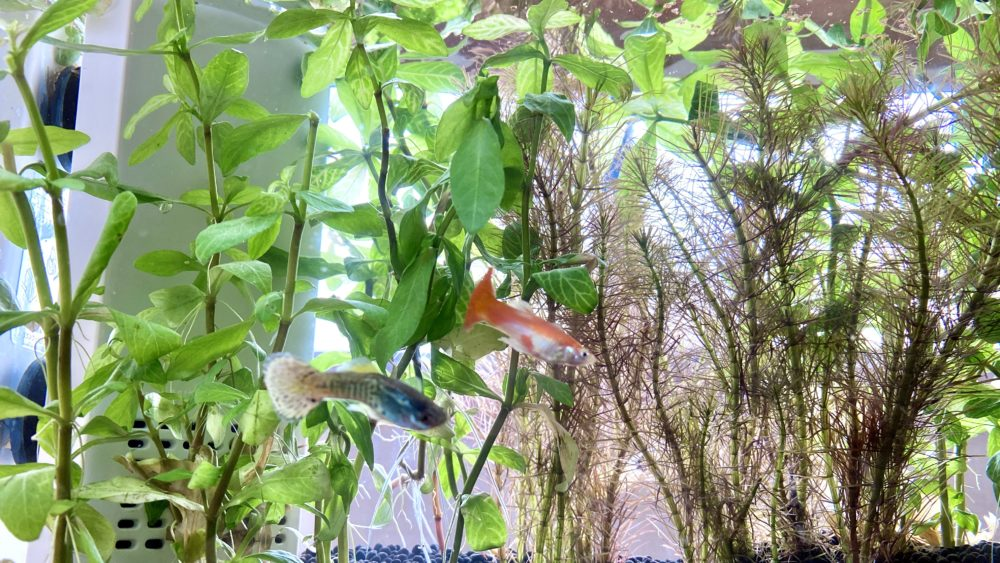 熱帯魚グッピーのグっさんとピーさん