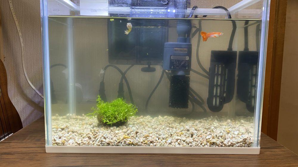 水槽にラージパールグラスを投入 水草