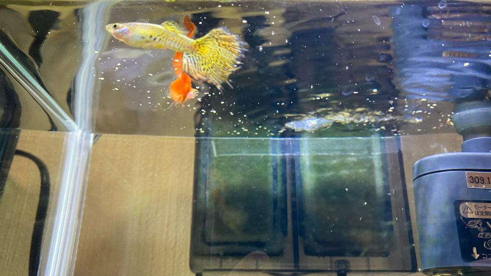 コメット 小型熱帯魚の主食 グッピー・テトラ (10)