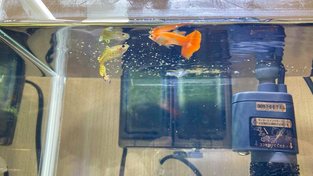 コメット 小型熱帯魚の主食 グッピー・テトラ (9)